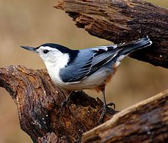 White-breasted Nuthatches are agile birds that creep along trunks and large branches, probing into bark furrows with their straight, pointed bills. Like other nuthatches, they often turn sideways and upside down on vertical surfaces as they forage. They don't lean against their tails the way woodpeckers do.