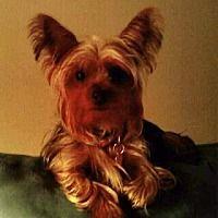 Mckinney Texas Yorkie Yorkshire Terrier Meet Mina In 2020