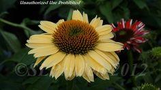 Picture of Coneflower 'Sombrero Sandy Yellow' (Echinacea purpurea)