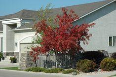Find Royal Crown Amur Maple (Acer ginnala 'Jefum') in Winnipeg Headingley Oak Bluff Manitoba MB at Shelmerdine Garden Center Amur Maple, Full Size Photo, Garden Oasis, Deciduous Trees, Types Of Soil, Crown Royal, Small Trees, Landscaping Plants, Fall Photos