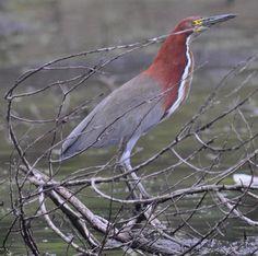 9a6d991f824b75471e081cfce3cb3bb8--uruguay-wildlife.jpg (736×730)