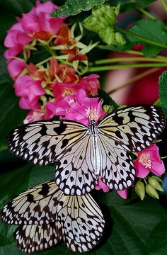 """Butterflieshe doesn't get better than that! Mother Nature is amazing""""! Flying Flowers, Butterflies Flying, Beautiful Butterflies, Beautiful Flowers, Butterfly Kisses, Butterfly Flowers, White Butterfly, Beautiful Creatures, Animals Beautiful"""
