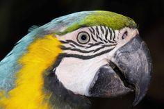 Blue & Yellow Macaw -South Lakes Wild Animal Park