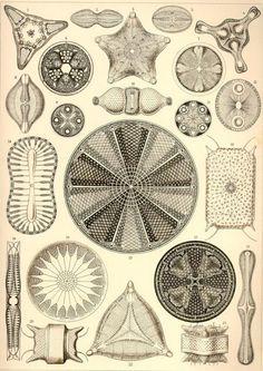 haeckel-diatoms1