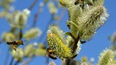 Vrba poskytuje první potravu užitečnému hmyzu... Dandelion, Flowers, Plants, Education, Nature, Dandelions, Plant, Taraxacum Officinale, Royal Icing Flowers