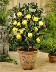 Planting apple trees how to grow apple tree in pot planting fruit trees f. Growing Apple Trees, Plants, Planting Apple Trees, Fruit Plants, Fruit Trees, Growing Fruit Trees, Fruit Trees In Containers, Apple Tree From Seed, Bonsai Apple Tree