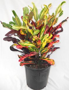 mammy croton plant photos - 6