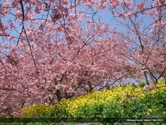 Cherry blossoms in Matsuda-machi, Japan.