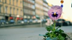 The Pansy Project : Stockholm