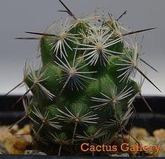 Coryphantha clava Cactus Gallery