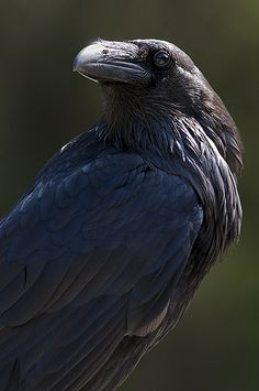 Raven by Dan Newcomb Photography, via Flickr