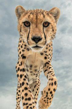 My favorite felin cheetah ^_^ Wild Animals Photography, Cat Photography, Beautiful Cats, Animals Beautiful, Cute Animals, Gato Grande, Mundo Animal, Big Cats, Beautiful Creatures