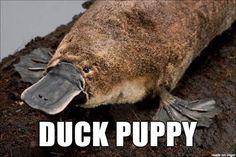 Penis duckbill platypus
