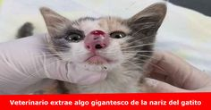 Es un momento de tremendo dolor para este gatito de Nebraska Humane Society Más detalles >> www.quetalomaha.com/?p=5379