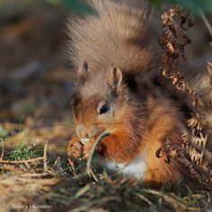 https://flic.kr/p/AsVA3G | Red Squirrel | Not been out for a week - might go out tomorrow - weather permitting!