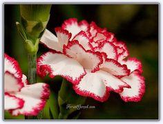 Karanfil Çiçeği - Dianthus Caryophyllus - Bakımı, Üretimi, Yetiştirilmesi - Forum Gerçek