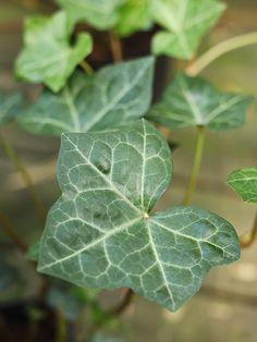 Murgröna 'Huldra' Woodland, Plant Leaves, Plants, Ink, India Ink, Plant, Planets