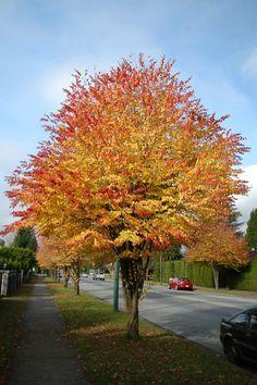 "Cercidiphyllum japonicum ""Katsura Tree"""