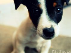 jack russell terrier...such a sweet face!