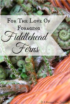 Fiddlehead ferns are one of the easiest greens to forage, and their tender green fronds add a delicious twist to your spring menu.  Foraging for fiddlehead ferns | areturntosimplicity.com