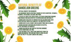 Dandellion and its benefits Dandelion Benefits, Vitamin K, Food Hacks, Abundance, Planting Flowers, Remedies, Herbs, Treats, Sweet Like Candy