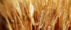 Gluten Gluttons-Why gluten is different from traditional wheat, and what that difference is doing to our health-A great, simple article from The Gerson Institute - My WordPress Website