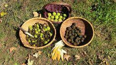 Processing black walnuts: the crime scene.