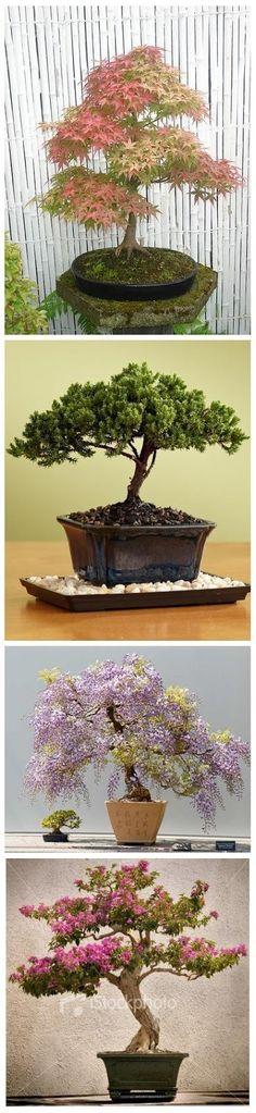4 Beautiful indoor Bonsai Trees