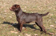 The Patterdale Terrier looks like a mini Labrador Retreiver. They are a compact, working breed that was originally bred to hunt foxes and other vermin.
