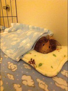 Sleepy guinea pig