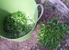 lemon balm is a natural way to reduce mites and freshen the coop. tests have shown that it does not obther the chickens