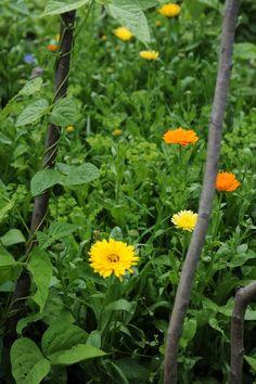 Ringelblumen und Bohnen