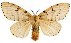Gypsy Moth - Google Search