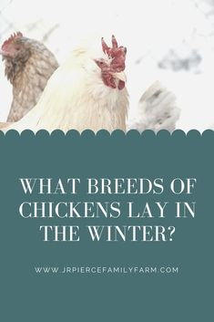 If you want to raise chickens in the winter, start by choosing the right breed. This guide to the best cold hardy chicken breeds can help you find the perfect one. #coldtolerantchickens #jrpiercefamilyfarm #howtoraisechickensinwinter #caringforchickensinwinter #winterchickens #homesteading #winterhomesteading Chickens In The Winter, First Aid Tips, All About Animals, Urban Homesteading, Chicken Breeds, Baby Chicks, Small Farm, Grow Your Own Food, Raising Chickens