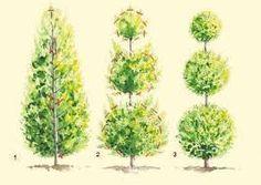 Znalezione obrazy dla zapytania formowanie tuji Garden Shrubs, Outdoor Topiary, Rose Garden Design, Topiary Plants, Vegtable Garden, Topiary Garden, Rock Garden Landscaping, Japanese Garden Landscape, Garden Trees