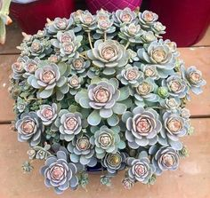Shop online for all your Cactus and Succulent must haves. Succulent Gardening, Cacti And Succulents, Planting Succulents, Cactus Plants, Garden Plants, Container Gardening, House Plants, Planting Flowers, Cool Plants