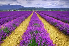 Lavender field by Hyungmin Moon Artistic Photography, Landscape Photography, Art Photography, Lavender Blue, Lavender Fields, Lavenders Blue Dilly Dilly, Nature Photos, Pretty Flowers, Vineyard