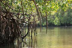 Siné-Saloum: la mangrove