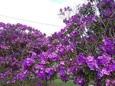 Flowering Tree Trees And Shrubs, Flowering Trees, Garden Trees, Mother Earth, Purple Flowers, Flora, Blossoms, Plants, Gardens