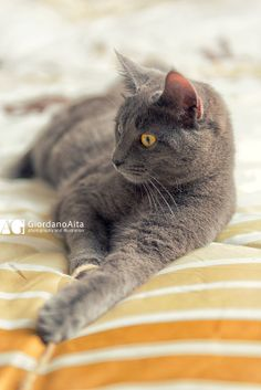 Yoda the cat plays on bed