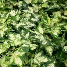 English ivy is an evergreen climbing vine. It is an aggressive invader that threatens all vegetation