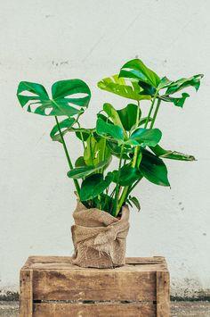 Monstera Deliciosa, Interior Plants, House Plants, Decoration, Floral, Hardy Plants, Air Plants, Hanging Plants, Comfort Colors