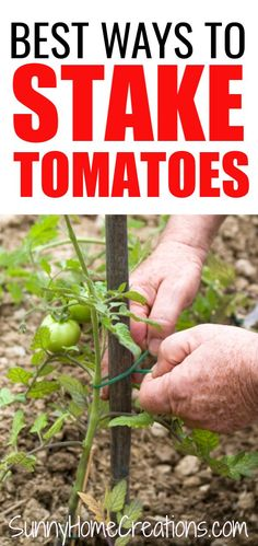 Tomato Plants Awesome ideas for staking tomatoes. When growing tomato plants you want to make sure to support them. The tomato fruits can be heavy. Here are some simple ways to tie cherry, heirloom roma and beefstake tomatoes in your veggie garden. Growing Tomato Plants, Growing Tomatoes, Growing Vegetables, Vegetables Garden, Caring For Tomato Plants, Staking Tomato Plants, Backyard Vegetable Gardens, Tomato Garden, Tomato Planter