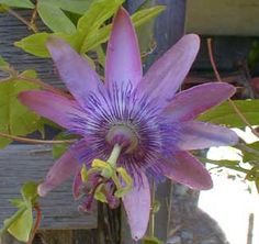 """""""Lavender Lady"""" passionflower"""