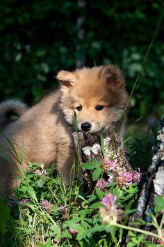 Eurasier puppy Karhunpesän Boheemi-Beata