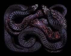 On small offshore islands where Shearwater (seabird) colonies exist, adult Black Tiger Snakes will seasonally gorge feed on chicks to build fat reserves for ...