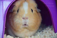 Guinea pig in pigloo!