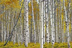 Birch Tree Grove with Autumn Yellow Leaves No.0641 - A Fall Landscape Photograph by RandyNyhofPhotos on Etsy