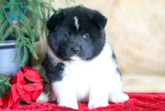This Akita puppy is a real spit-fire who is always ready to play! Akita Puppies For Sale, Corgi Puppies, Equine Photography, Animal Photography, Black Labrador, Black Labs, Japanese Akita, Dog Grooming Business, Black Lab Puppies