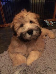 My Fozzie Bear...soft coated wheaten terrier